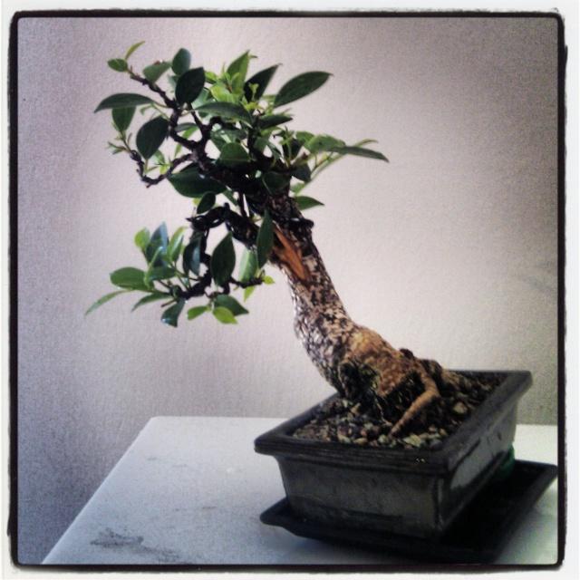 Ficus Retusa from a nursery broom Img_2011