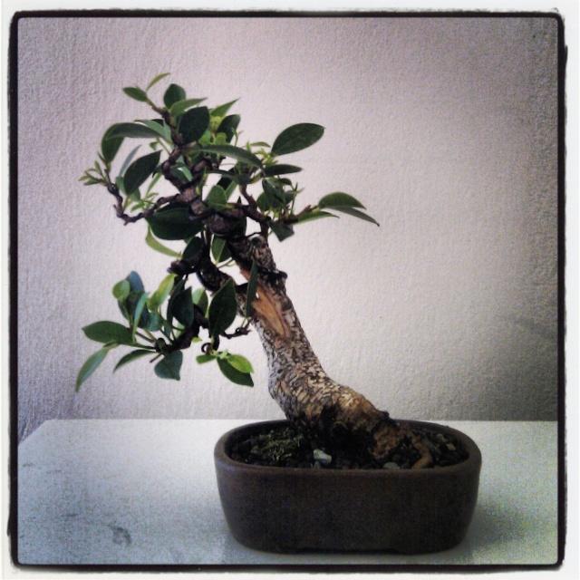 Ficus Retusa from a nursery broom Img_2012