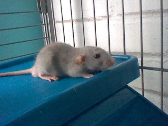 rats dumbo ou non ? Ange610
