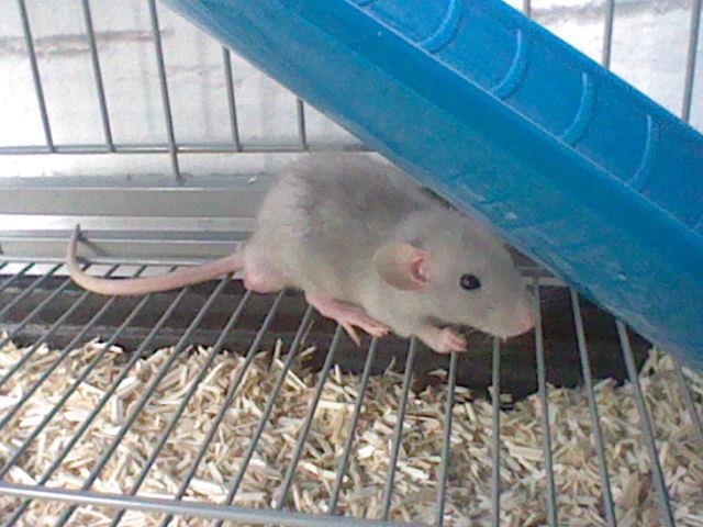rats dumbo ou non ? Ange710