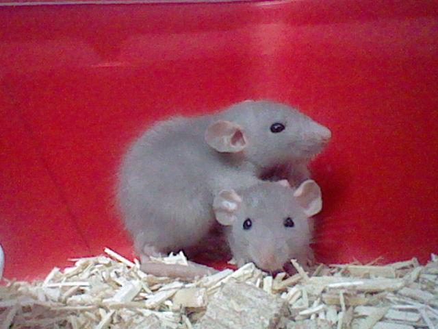 rats dumbo ou non ? Ange_210