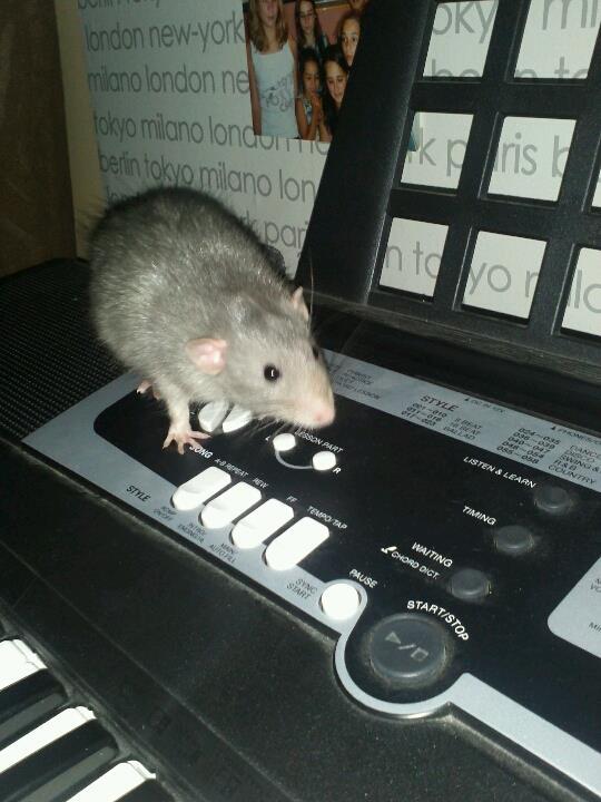 rats dumbo ou non ? Ange_310