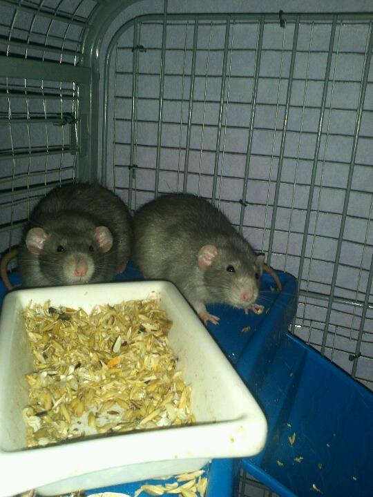 rats dumbo ou non ? Ange_410