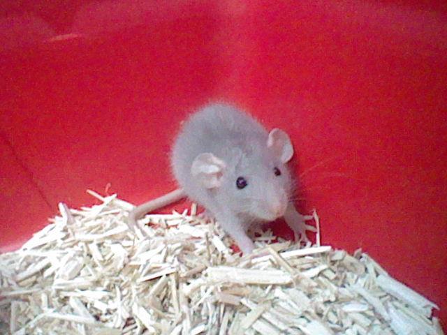 rats dumbo ou non ? Damon10
