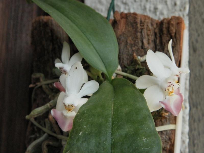 Phalaenopsis parishii x lobbii Sam_6513