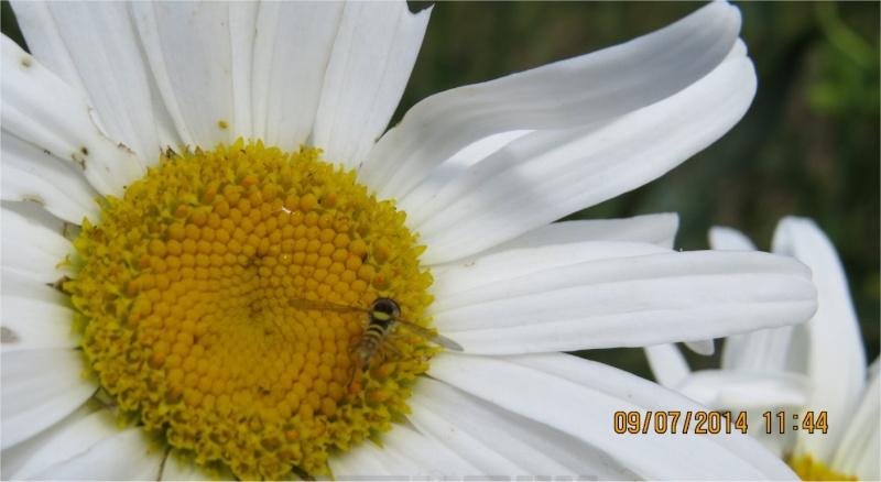 Syrphe porte-plume Abeill16