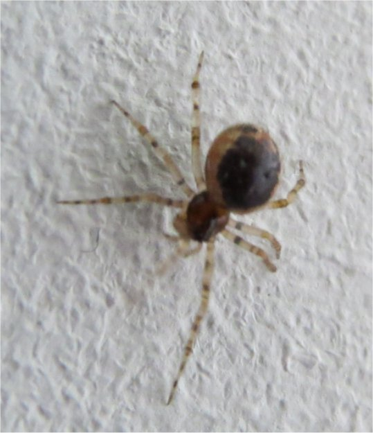 araignée Sardinidion blackwalli femelle rue de La Hunaudaye aux Villages  Araign51