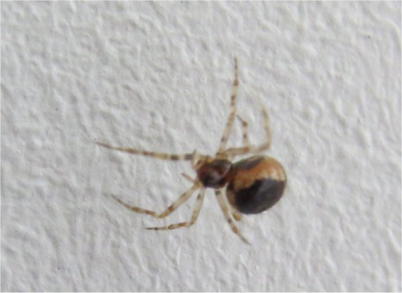 araignée Sardinidion blackwalli femelle rue de La Hunaudaye aux Villages  Araign53