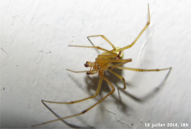 araignée Enoplognatha ovata rue de La Hunaudaye aux Villages  Araign57