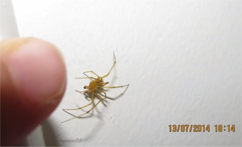 araignée Enoplognatha ovata rue de La Hunaudaye aux Villages  Araign58