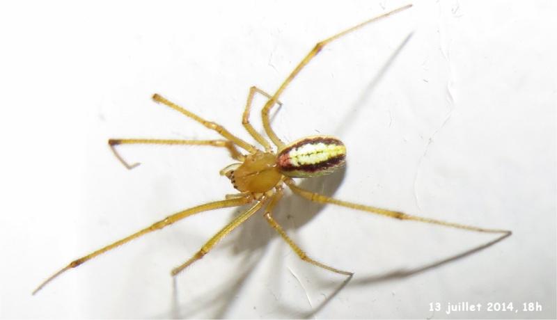 araignée Enoplognatha ovata rue de La Hunaudaye aux Villages  Araign59