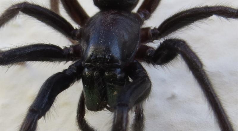 très grosse araignee noir-charbon et poilue boulevard de l'Atlantique  Araign75