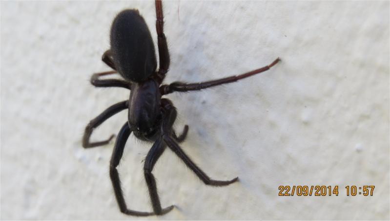 très grosse araignee noir-charbon et poilue boulevard de l'Atlantique  Araign77