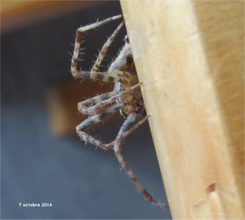 araignée épeire-diadème mâle rue de La Hunaudaye aux Villages  Araign89