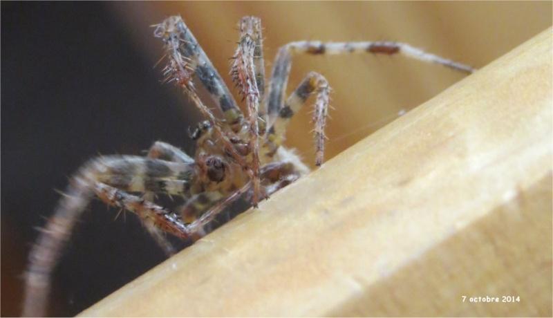 araignée épeire-diadème mâle rue de La Hunaudaye aux Villages  Araign91