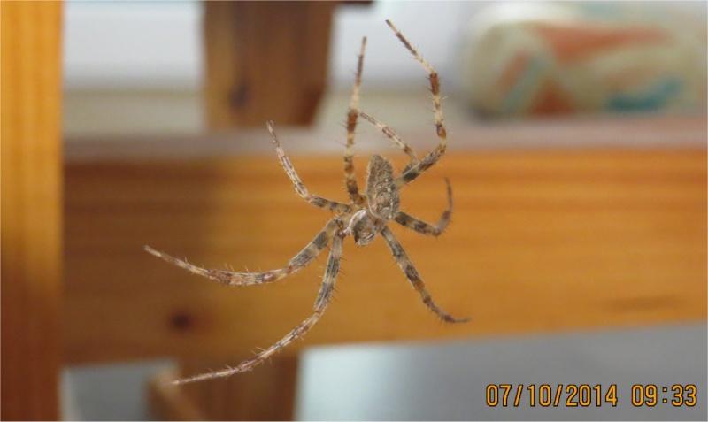 araignée épeire-diadème mâle rue de La Hunaudaye aux Villages  Araign93