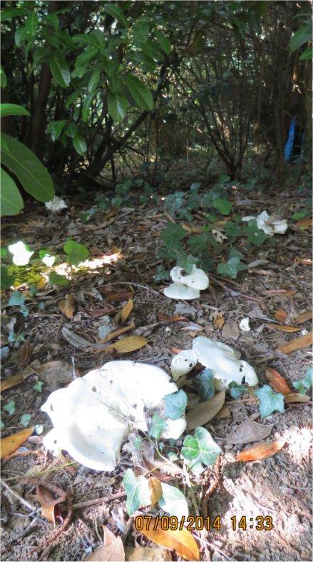 Tricholoma pseudoalbumquel au Bois-Boissel Bois_b12