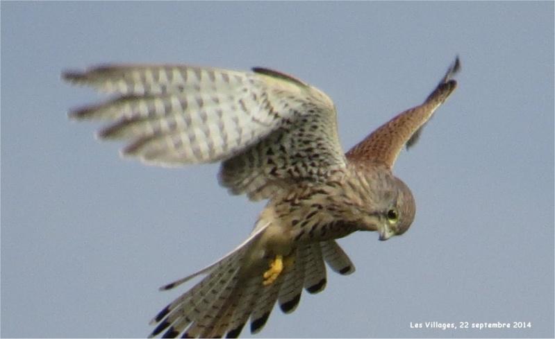 faucon crécerelle en vol stationnaire au-dessus des Villages Buse_210