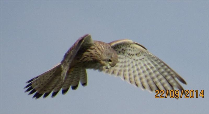 faucon crécerelle en vol stationnaire au-dessus des Villages Buse_310