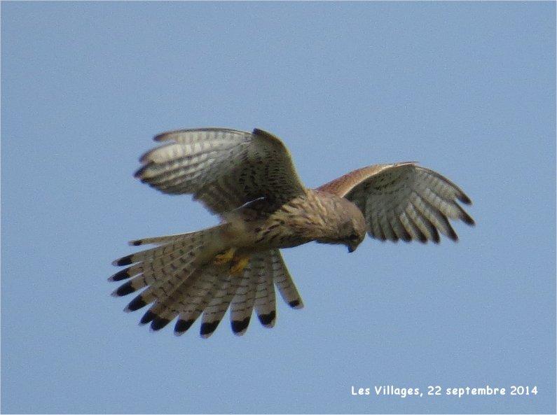 faucon crécerelle en vol stationnaire au-dessus des Villages Buse_o10