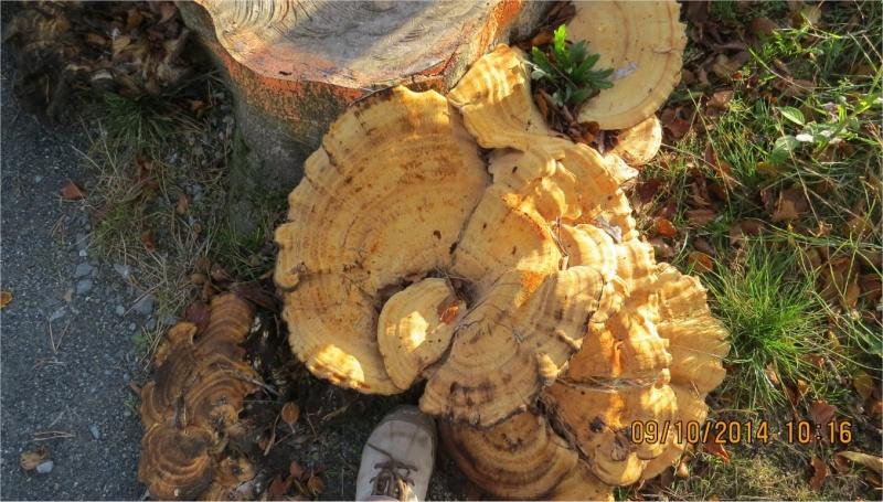 quel gros champignon plat Place Octave-Brilleaud à Robien?  Champi56