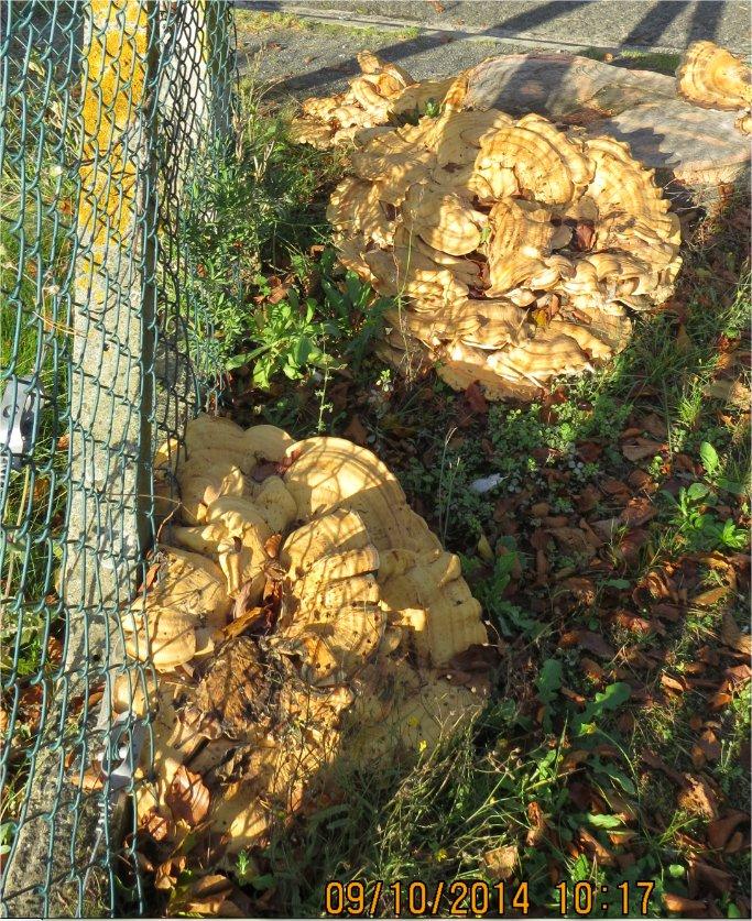 quel gros champignon plat Place Octave-Brilleaud à Robien?  Champi58