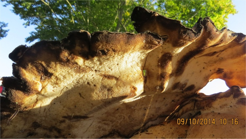 quel gros champignon plat Place Octave-Brilleaud à Robien?  Champi60