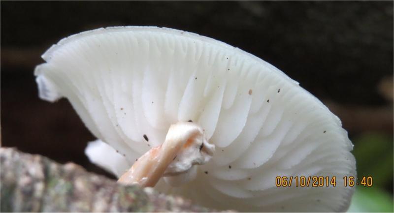 """Quel champignon blanc sur le GR34 """"Ventres Jaunes"""" au Légué ?  Champi61"""