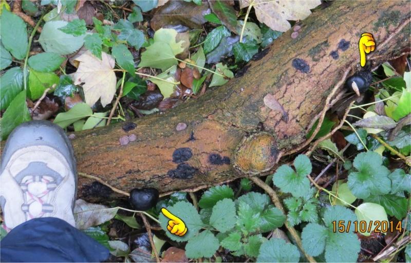 champignons noirs et blancs près de la Maison de quartier du Gouet au Légué  Champi72
