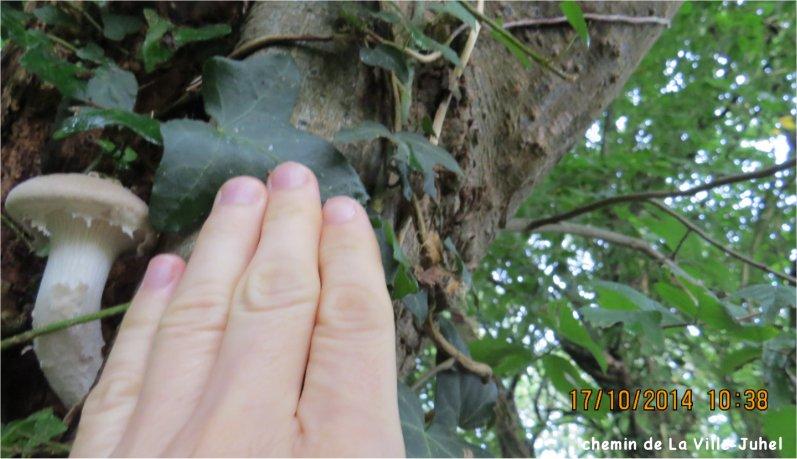 quel champignon blanc au milieu d'un tronc Chemin de La Ville-Juhel?  Champi77