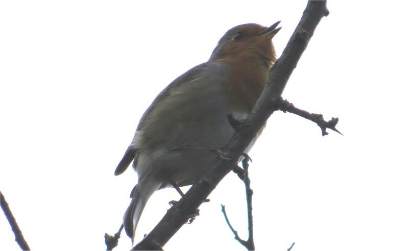 sterne caugek et grèbes huppés au large du Chemin aux oiseaux à Cesson  Chemin14