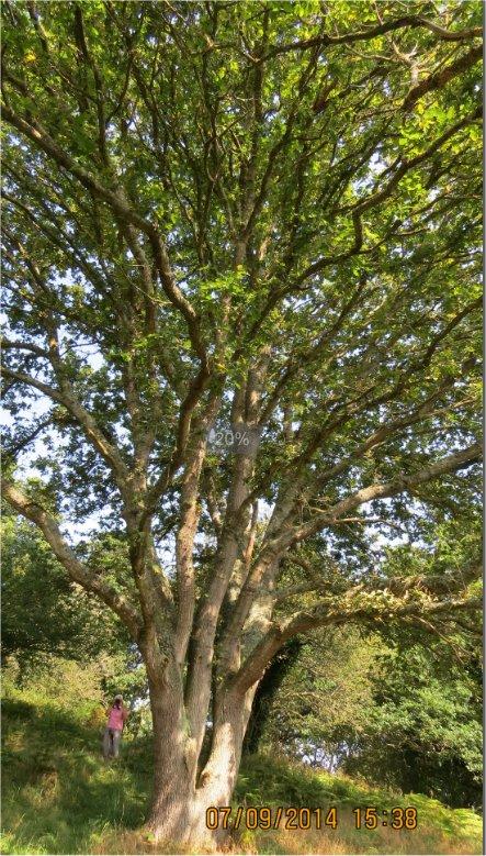 Chêne dont la base se divise en 3 troncs au Bois-Boissel Chene_10