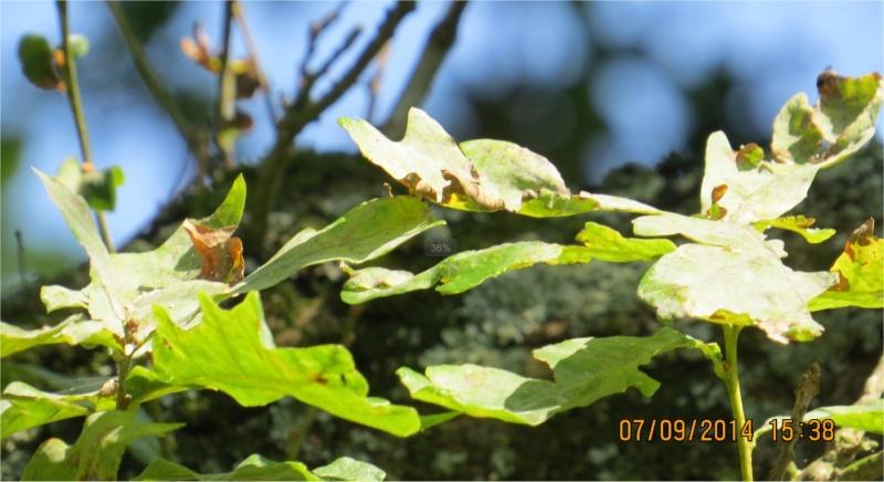 Chêne dont la base se divise en 3 troncs au Bois-Boissel Chene_11
