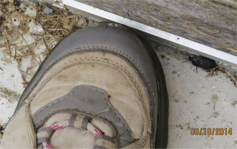 Coléoptère de la famille des Silphidae rue de La Hunaudaye aux Villages  Crache12