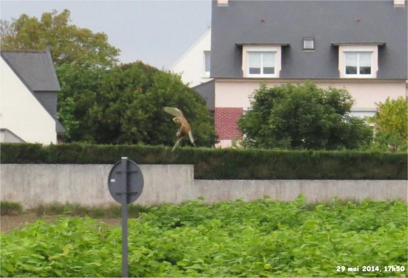 faucon crecerelle mâle rue de la Hunaudaye aux Villages Crecer10