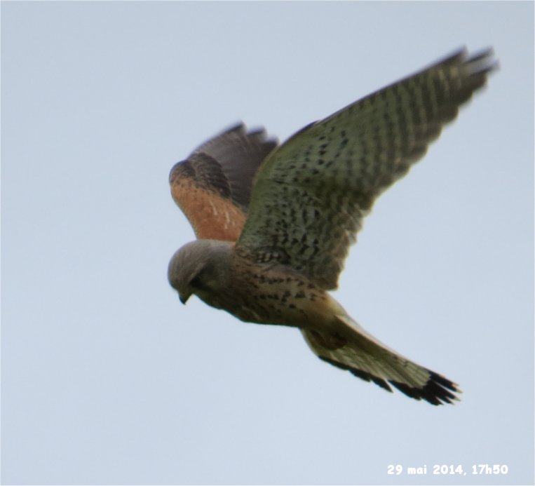 faucon crecerelle mâle rue de la Hunaudaye aux Villages Crecer11