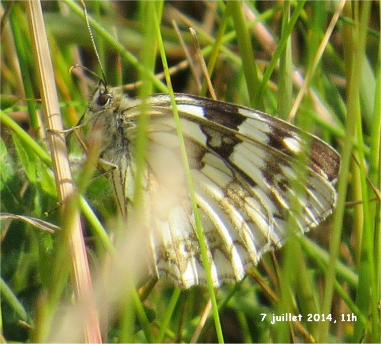 papillon demi-deuil (= échiquier) rue de la Hunaudaye aux Villages Demi-d12