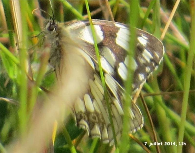 papillon demi-deuil (= échiquier) rue de la Hunaudaye aux Villages Demi-d13