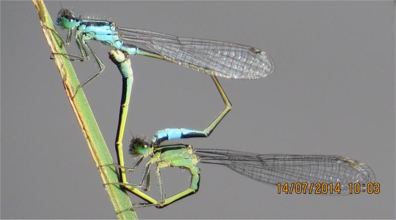 """libellules """"Ischnure élégante"""" sur l'étang de Douvenant  Douven10"""