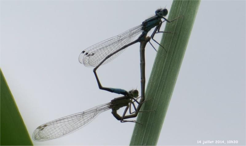 """libellules """"Ischnure élégante"""" sur l'étang de Douvenant  Douven11"""