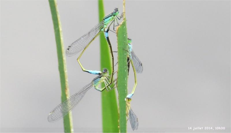 """libellules """"Ischnure élégante"""" sur l'étang de Douvenant  Douven12"""
