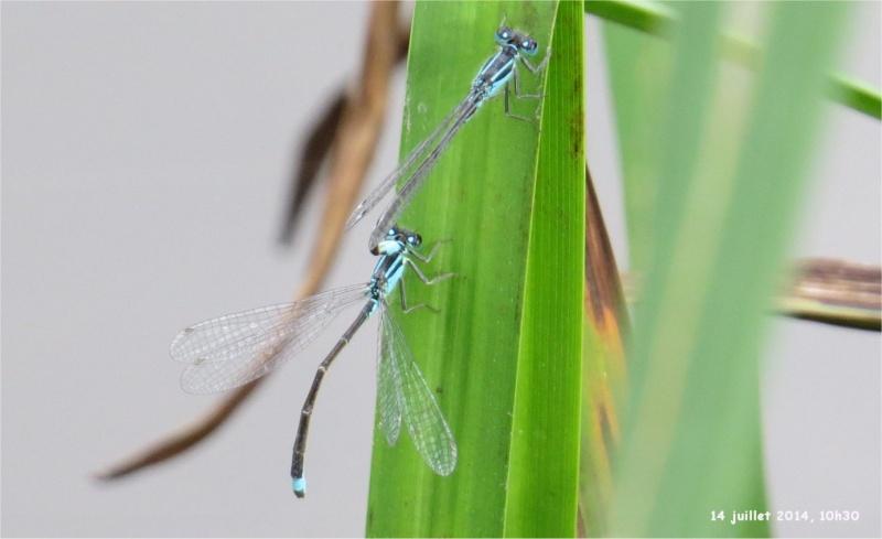 """libellules """"Ischnure élégante"""" sur l'étang de Douvenant  Douven14"""
