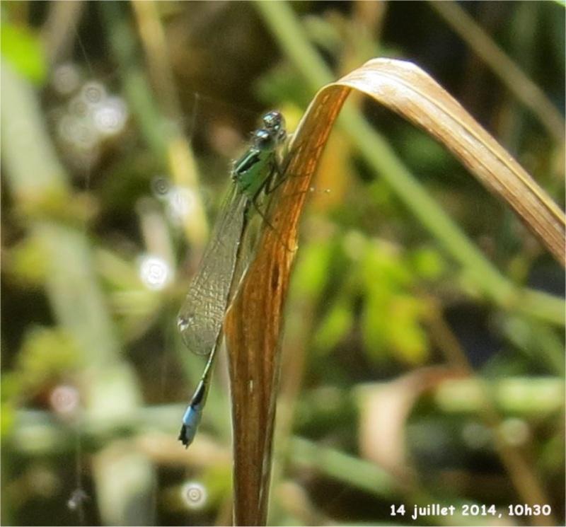 """libellules """"Ischnure élégante"""" sur l'étang de Douvenant  Douven15"""
