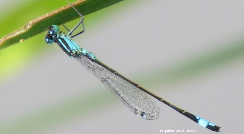 """libellules """"Ischnure élégante"""" sur l'étang de Douvenant  Douven16"""