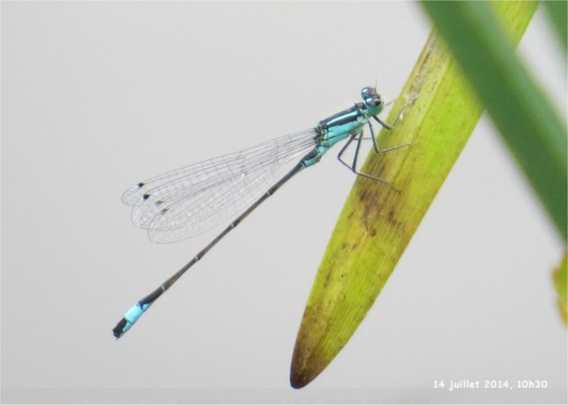 """libellules """"Ischnure élégante"""" sur l'étang de Douvenant  Douven17"""