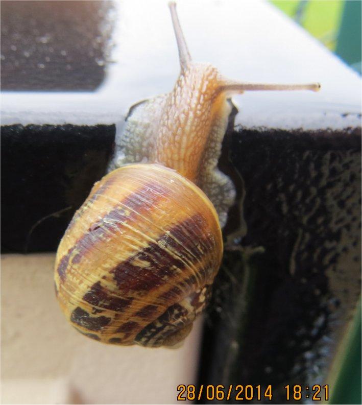 quel escargot marron  foncé et clair ?  Escarg19