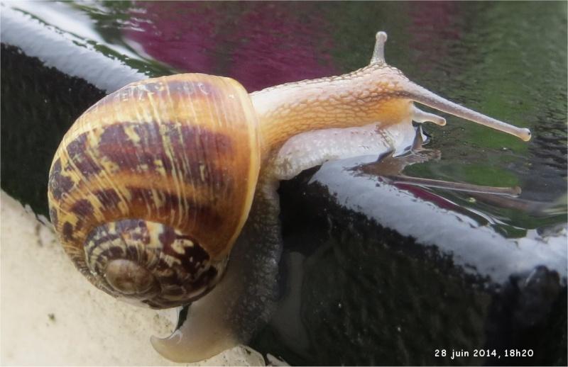 quel escargot marron  foncé et clair ?  Escarg20