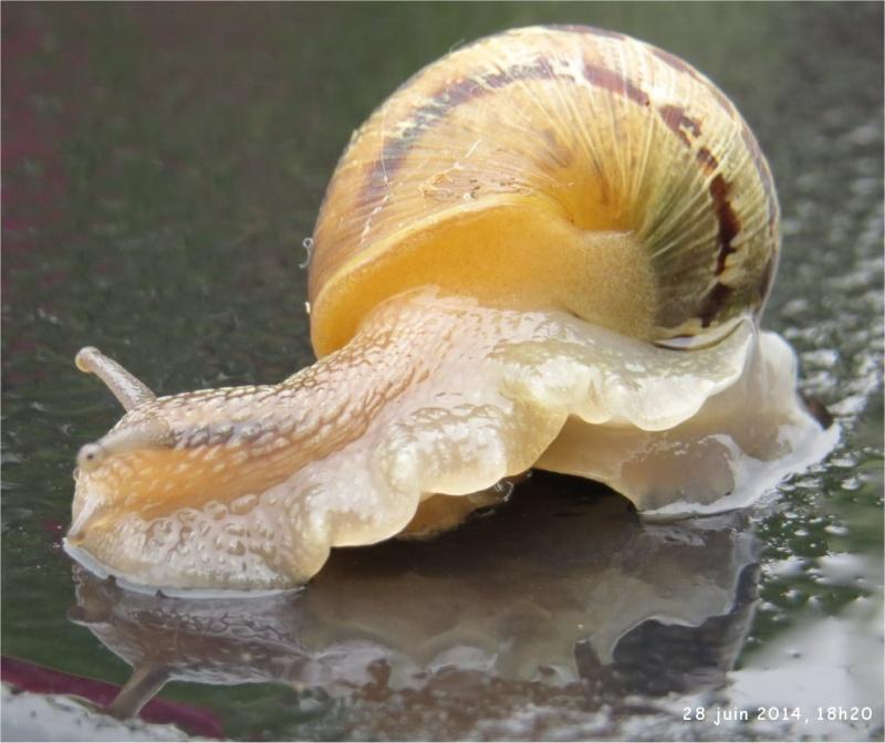 quel escargot marron  foncé et clair ?  Escarg22
