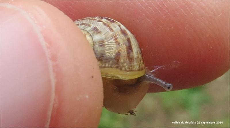 quel escargot dans la Vallée du Gouédic?  Escarg34