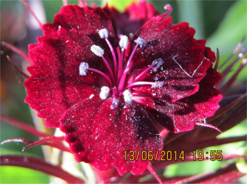 quelle fleur pourpre?  Fleur_10